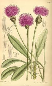 File:Centaurea crassifolia 139-8508.jpg - Wikimedia Commons