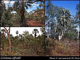 Livistona alfredii F.Muell.: FloraBase: Flora of Western Australia