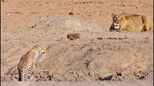 <b>Leopard</b> Walks Right into a Lion - YouTube