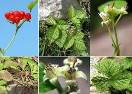 Rubus saxatilis L. - Sistema informativo sulla flora delle Alpi ...
