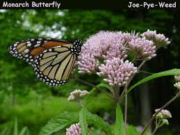 Image result for joe pye weed