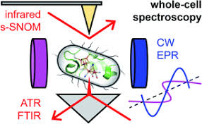 Spectroscopic investigations under whole-cell conditions provide ...