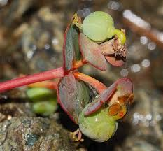 Euphorbia nicaeensis All. subsp. nicaeensis {ID 3077} - Euforbia di ...