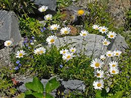 Leucanthemum heterophyllum - Wikispecies