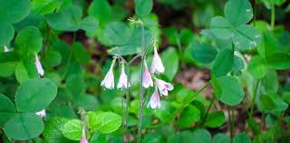 Adirondack Wildflowers: Twinflower | Linnaea borealis