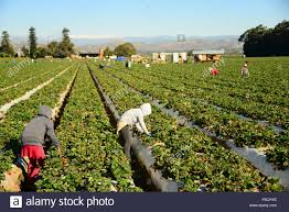 seasonal workers stock photos seasonal workers stock images alamy migrant seasonal mexican workers work picking strawberry crop in oxnard central california usa stock image