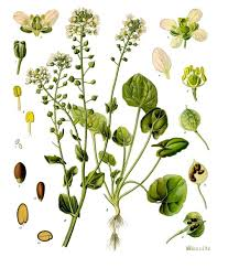 Cochlearia officinalis - Wikipedia
