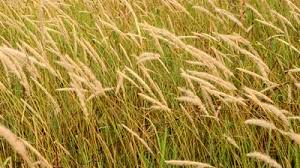 Image result for barnyard grass