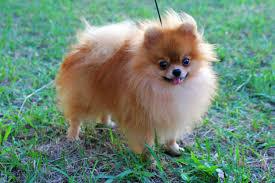 Σε τι είναι επιρρεπή τα Pomeranian;