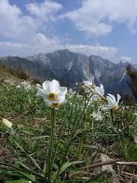 Narcissus poeticus L.