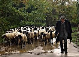 Image result for shepherd with sheep flock pictures