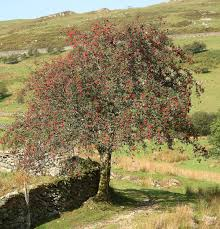 Sorbus aucuparia - Wikipedia