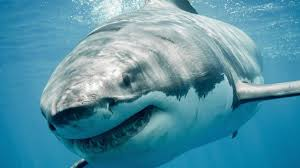 Scientists Document <b>Summer</b> Surge of Great <b>White Sharks</b>
