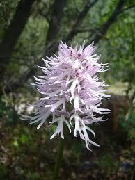 Orchis italica - Wikipedia