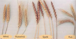 Kuvahaun tulos haulle vehnän korsi