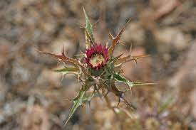 Carlina lanata, flora di Sardegna