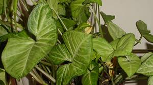 arrowhead vine best office plants no sunlight