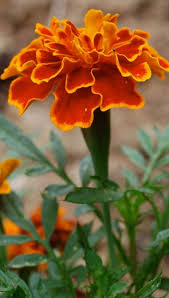 Marigold is a hardy, annual plant belonging to the Compositeae ...
