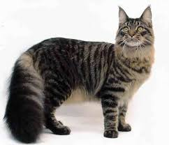 Image result for Maine coon in litter box