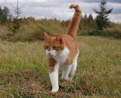 Image result for ginger and white cat