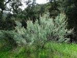california sagebrush
