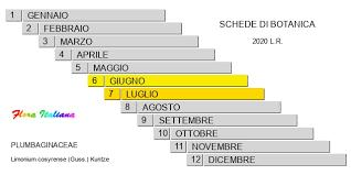 Limonium cosyrense [Limonio di Pantelleria] - Flora Italiana