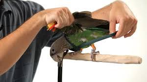How to Put a <b>Harness</b> on Your <b>Parrot</b>   <b>Parrot</b> Training - YouTube