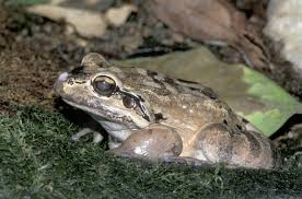The Mountain Chicken Frog