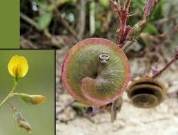 Medicago orbicularis (Round-fruited Medick) : MaltaWildPlants.com ...