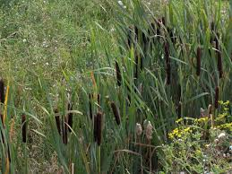 Typha latifolia - Wikipedia