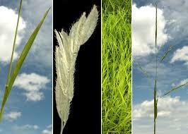 Leersia oryzoides (L.) Sw. - Sistema informativo sulla flora vascolare ...