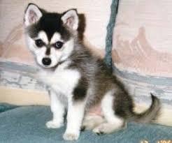Ο σκύλος Alaskan Klee Kai...