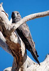 Falco subniger