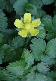 Potentilla indica - Michigan Flora