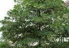 elaeocarpus family