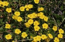 Helianthemum oelandicum - Wikipedia, la enciclopedia libre