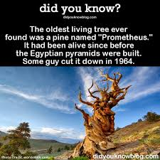 Image result for the oldest living tree in the world