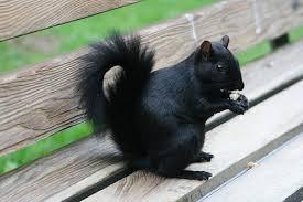 Black squirrel down