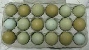Image result for blue and green egg laying chickens