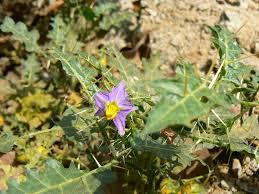 Кантакари (solanum xanthocarpum)