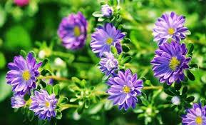 Посев астр на рассаду − пошаговая инструкция   Цветы в саду ...