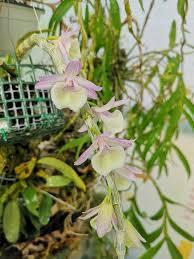 Dendrobium Giganteum Primulinum | Орхидеи | Pinterest | Orchids ...