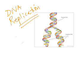 dna structure dna replication