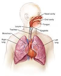 respiratory system diagram  integris pulmonologists oklahoma    respiratory system diagram