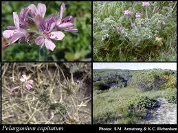 Pelargonium capitatum (L.) L'Her.: FloraBase: Flora of Western ...
