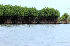 essay on mangrove forest in
