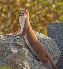 Image result for weasel hole