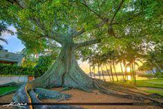 West Palm Beach <b>Kapok Banyan</b> Tree Flagler