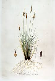File:Carex pulicaris — Flora Batava — Volume v7.jpg - Wikimedia ...