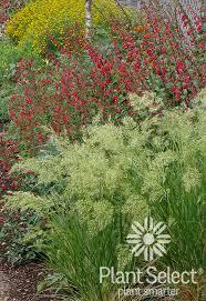 UNDAUNTED® Alpine Plume Grass